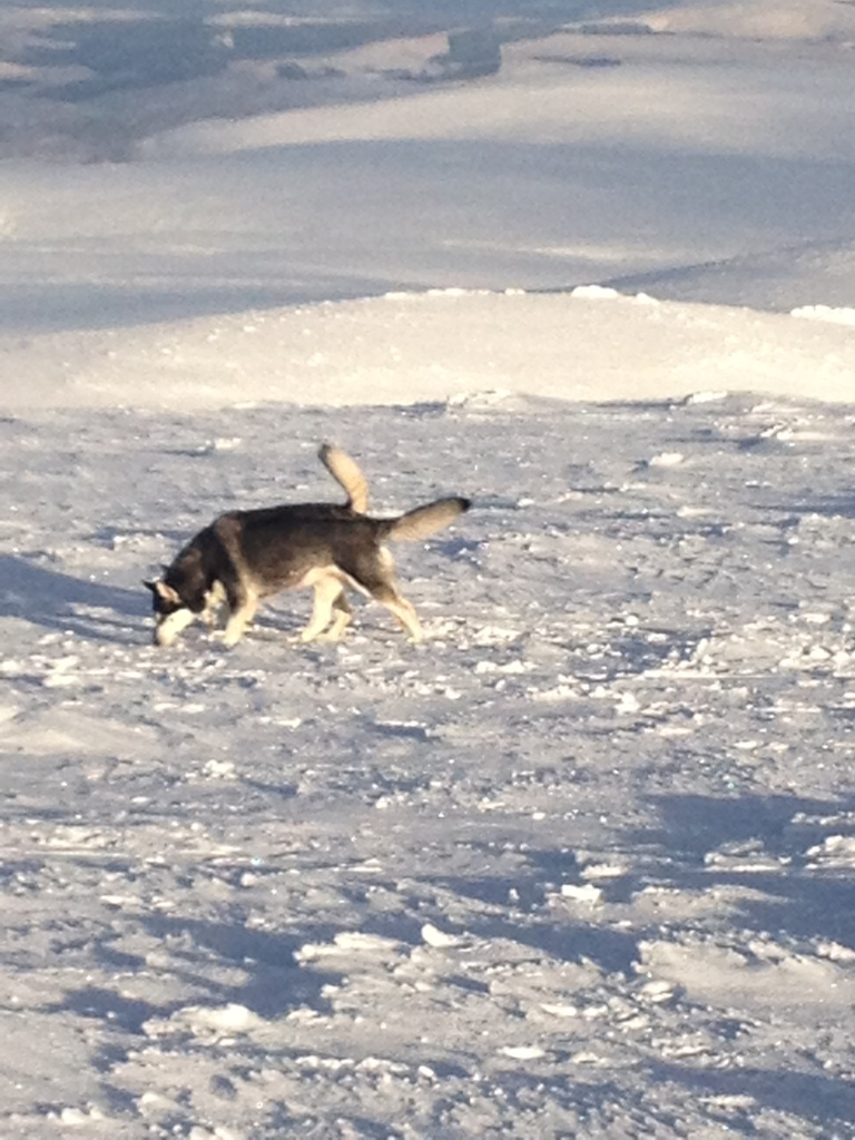 The mythical highland Two-tailed Husky