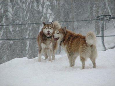 Happy Huskies
